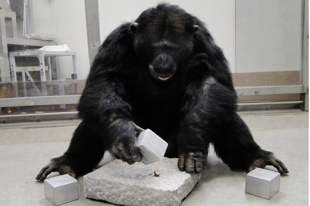 Chimpanzee using cuboid tool