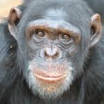 chimpanzee thumbnail image