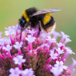Bee on a purple flower thumbnail image